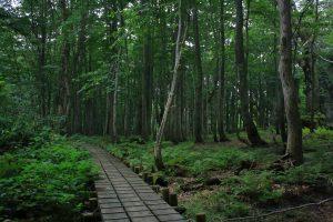 The last virgin beech forest in Japan. Photo by: Reid Bartholomew