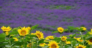 Alivia Hancock (Iwate) Lavenders and sunflowers in Furano, Hokkaido.