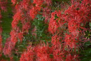 Michelle Zacharias (Saitama) Red spider lilies in Saitama and wisteria in Ashikaga, Tochigi.